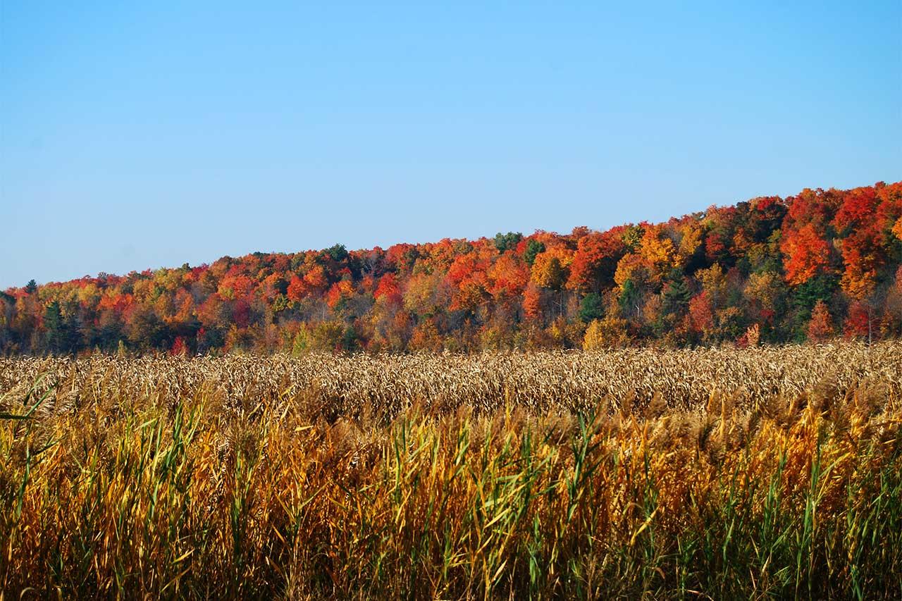 Champ de maïs en premier plan et boisés aux couleurs d'automne en arrière-plan