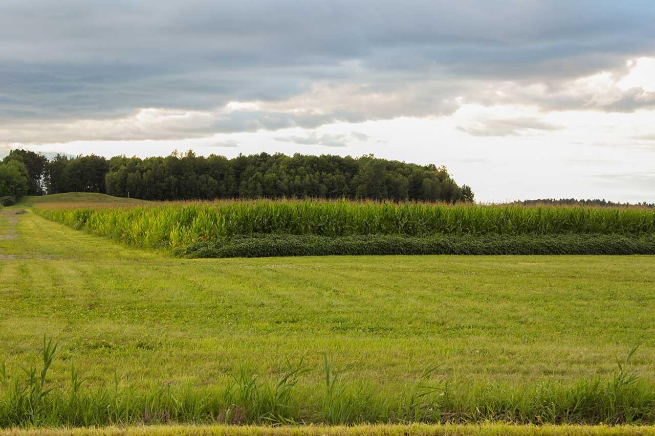 Champ de maïs entouré de gazon tondu et bosquet en arrière-plan