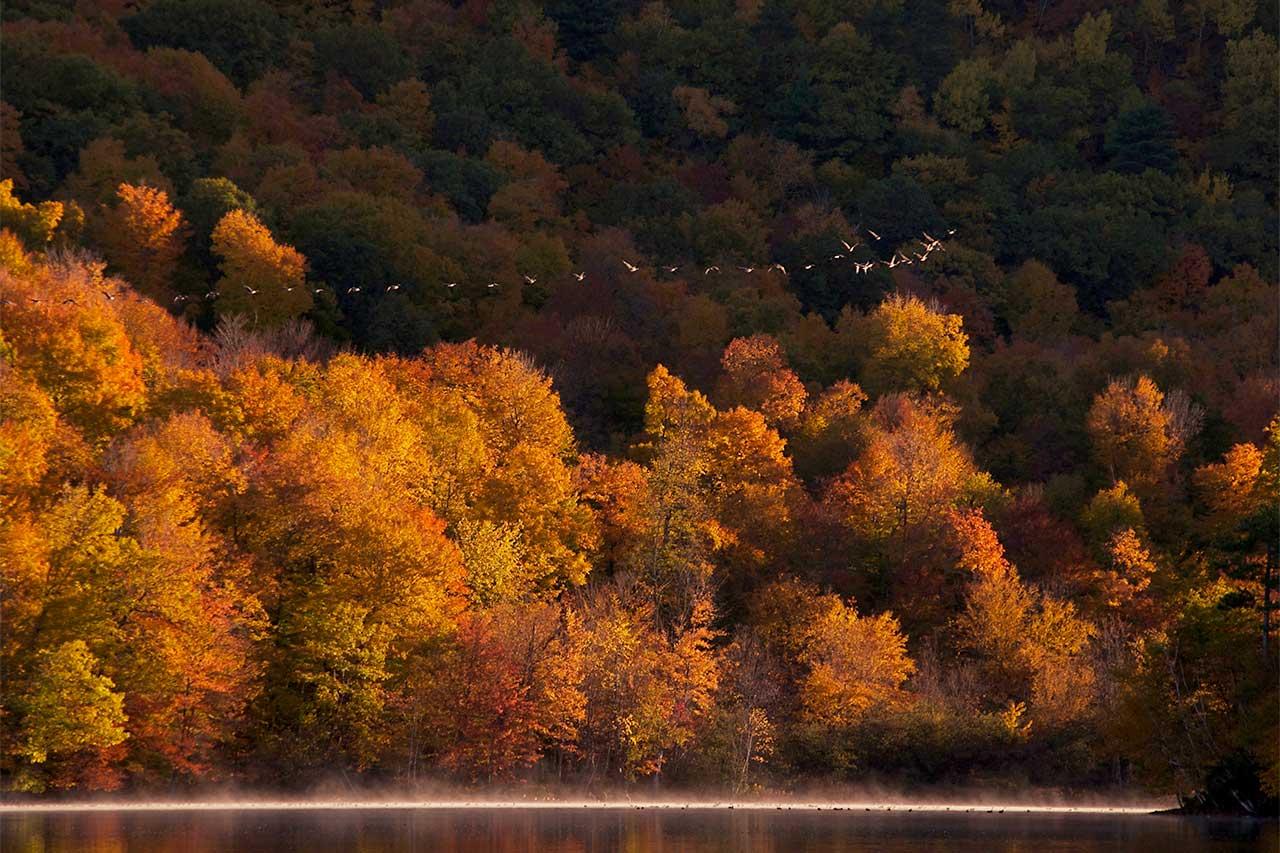 Envol de bernaches du Canada au-dessus du lac embrumé, entouré de boisés en automne