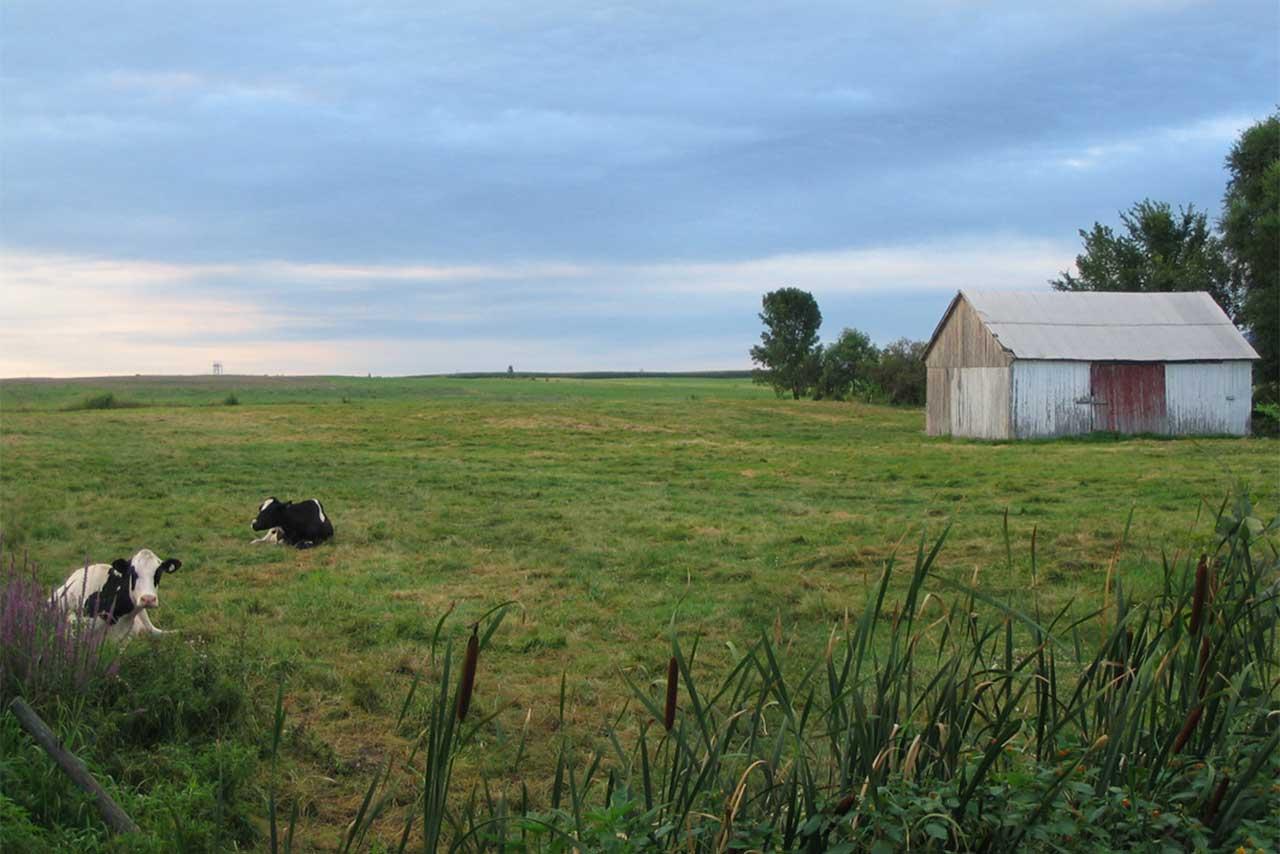 Deux vaches laitières couchées dans l'herbe dans une pâture sur laquelle il y a une grange