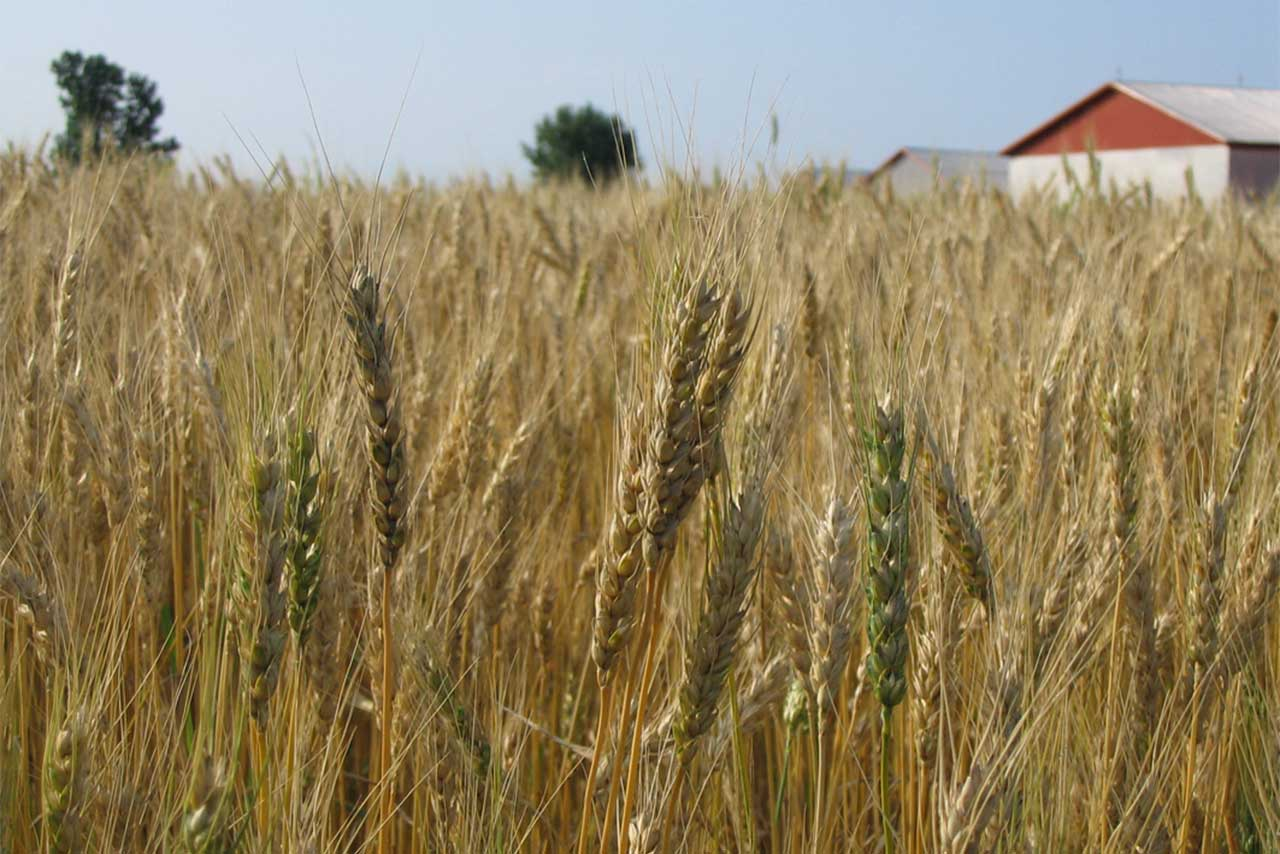 Champ de blé avec leurs épis en gros plan