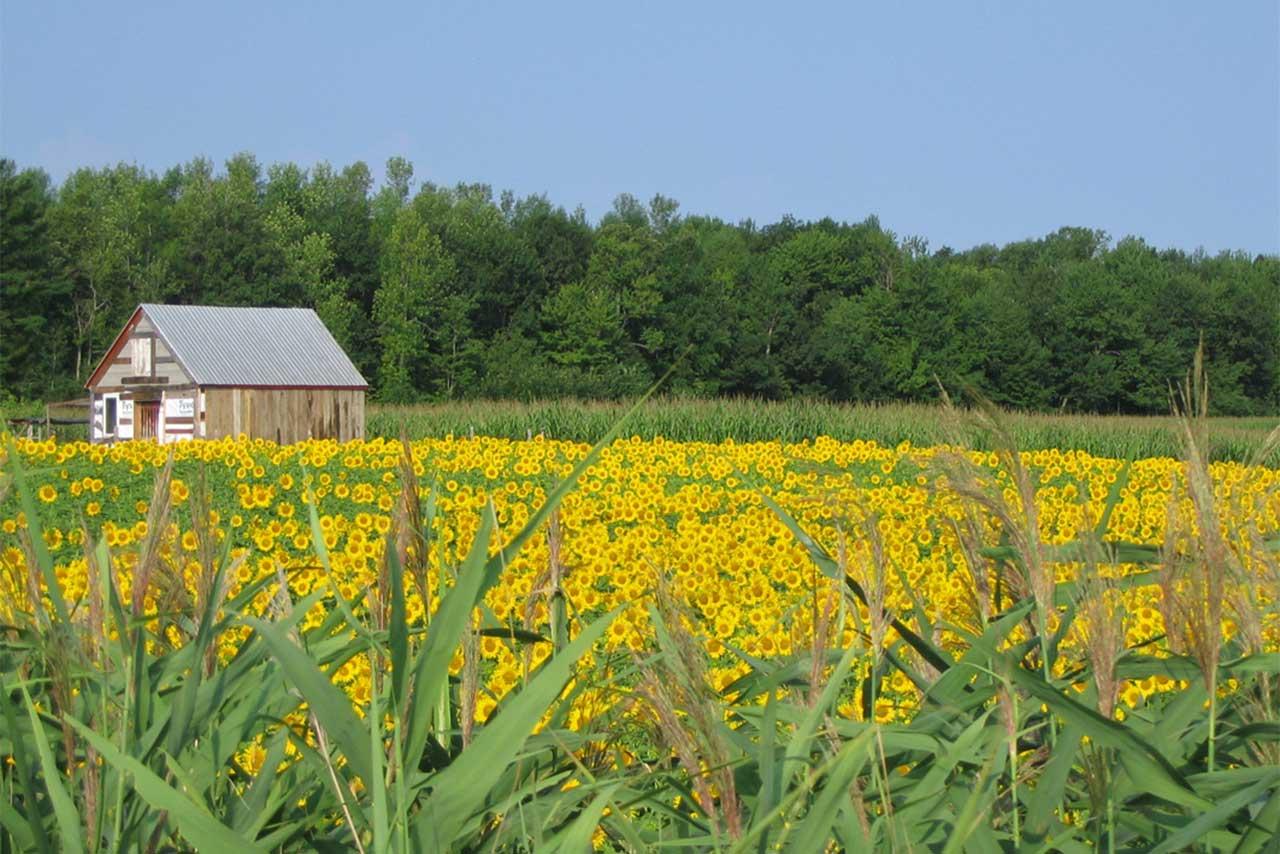 Champ de tournesol et grange en été, entourés de champs de maïs et boisés en arrière-plan