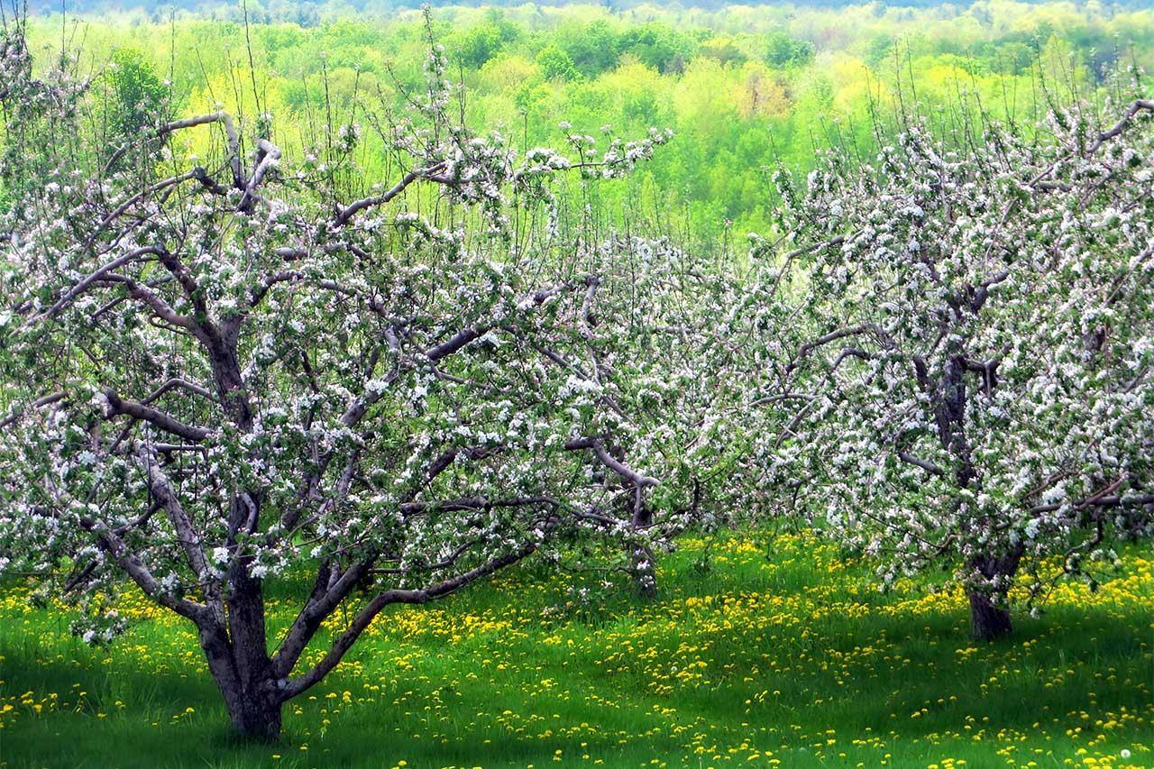 Pommiers en fleurs dans une prairie fleurie de fleurs jaunes, boisés en arrière-plan