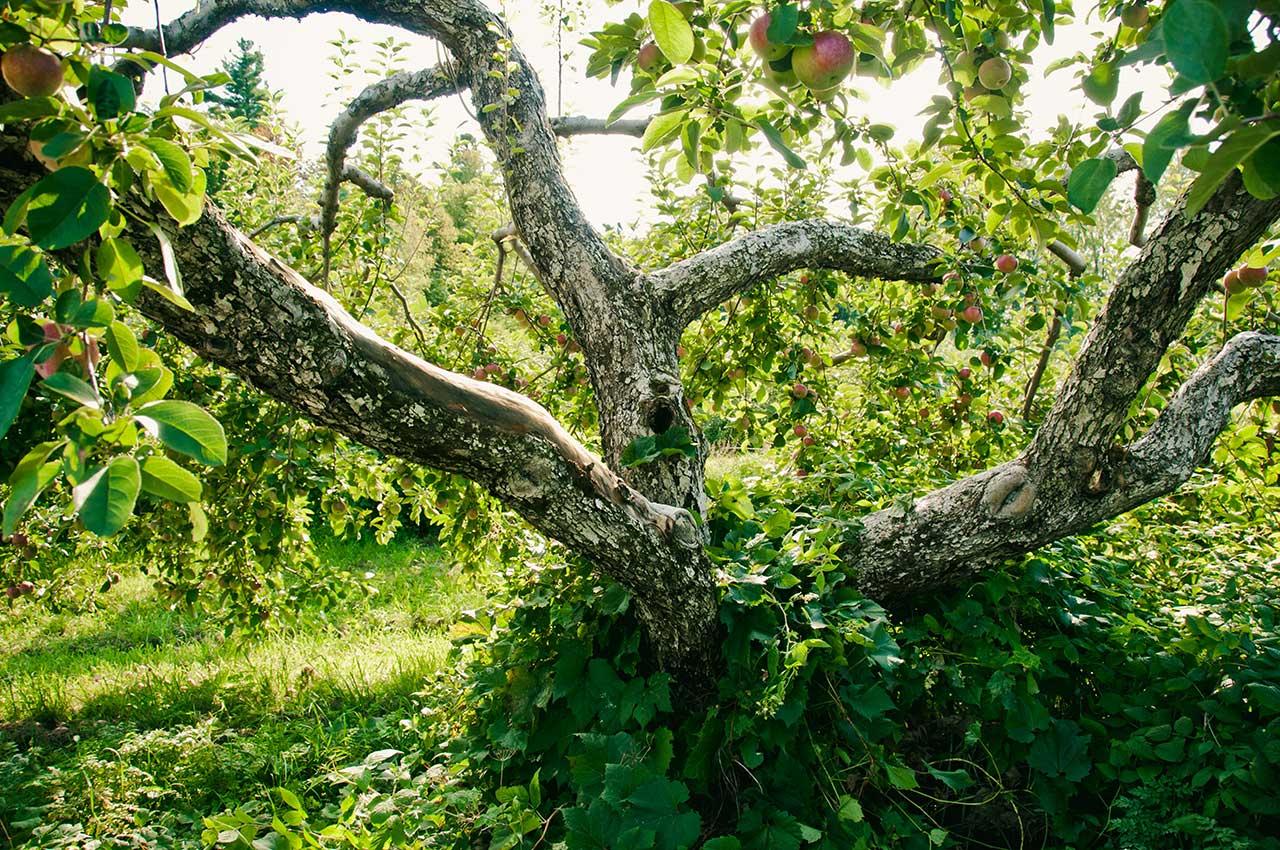 Pommier au tronc divisé et tordu contenant des pommes mûres