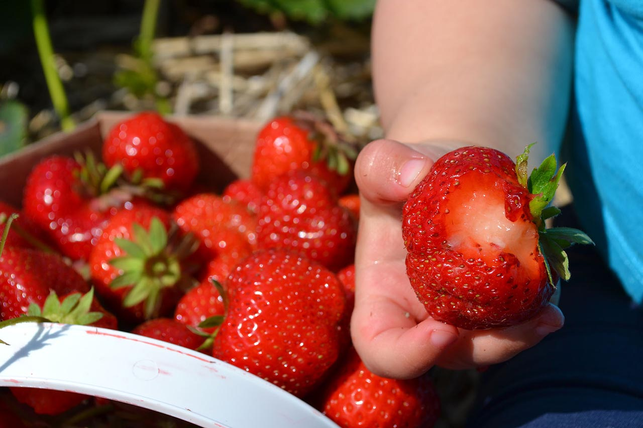A baby's hand holding a half-eaten strawberry; basket of strawberries in the background