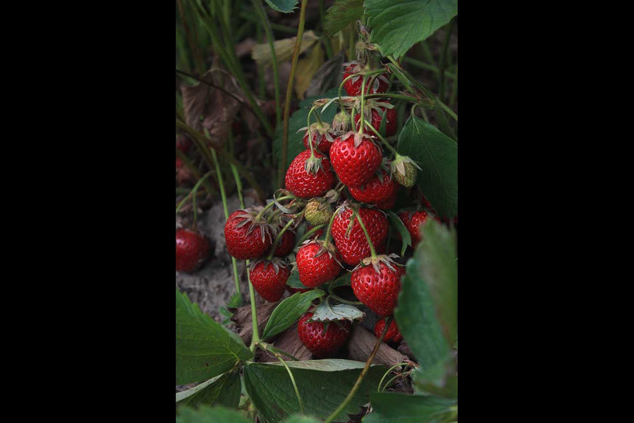 Cluster of ripe strawberries in a field