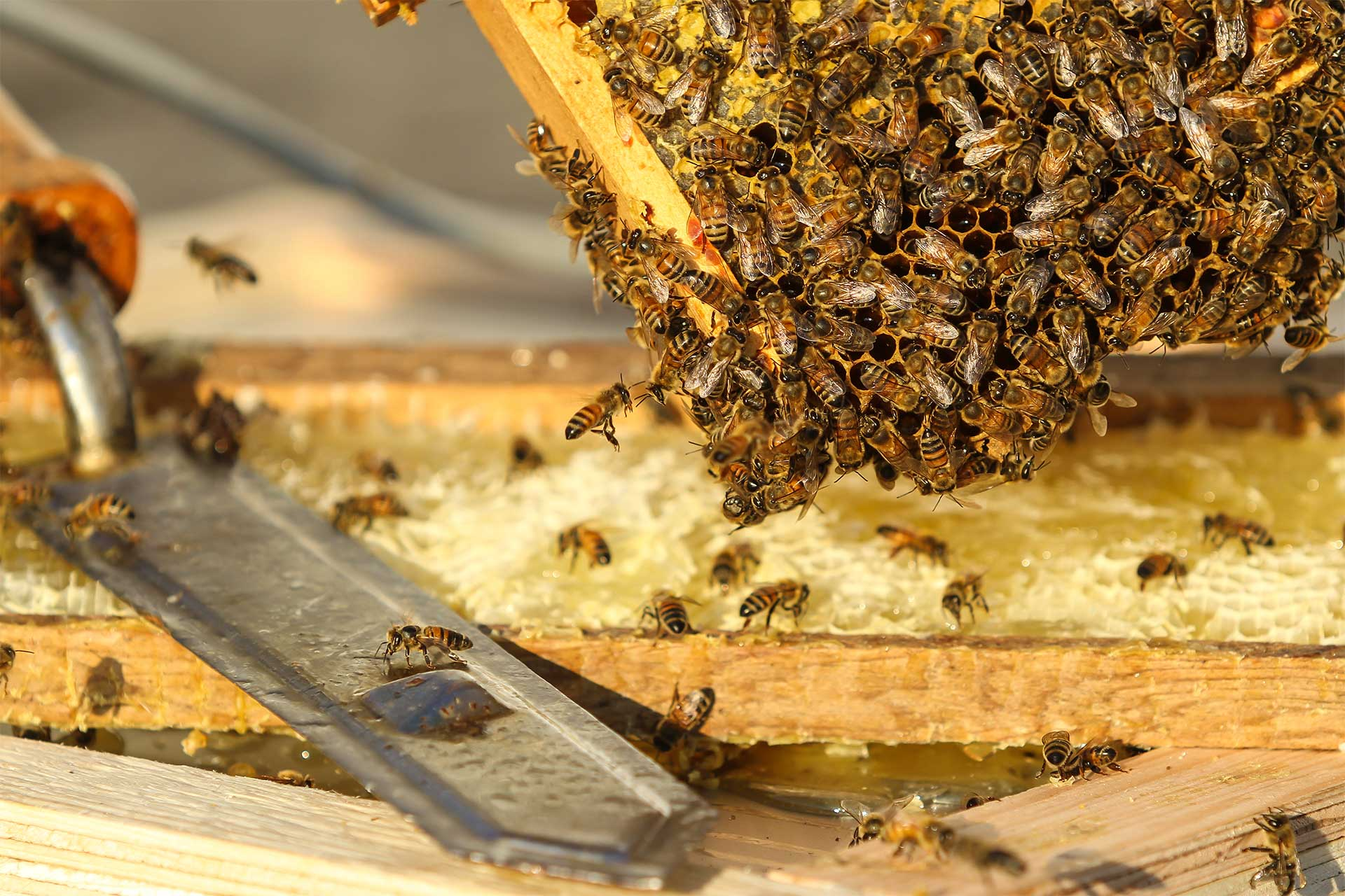 Abeilles sur un plateau de ruche en bois, un couteau à désoperculer est posé sur la ruche