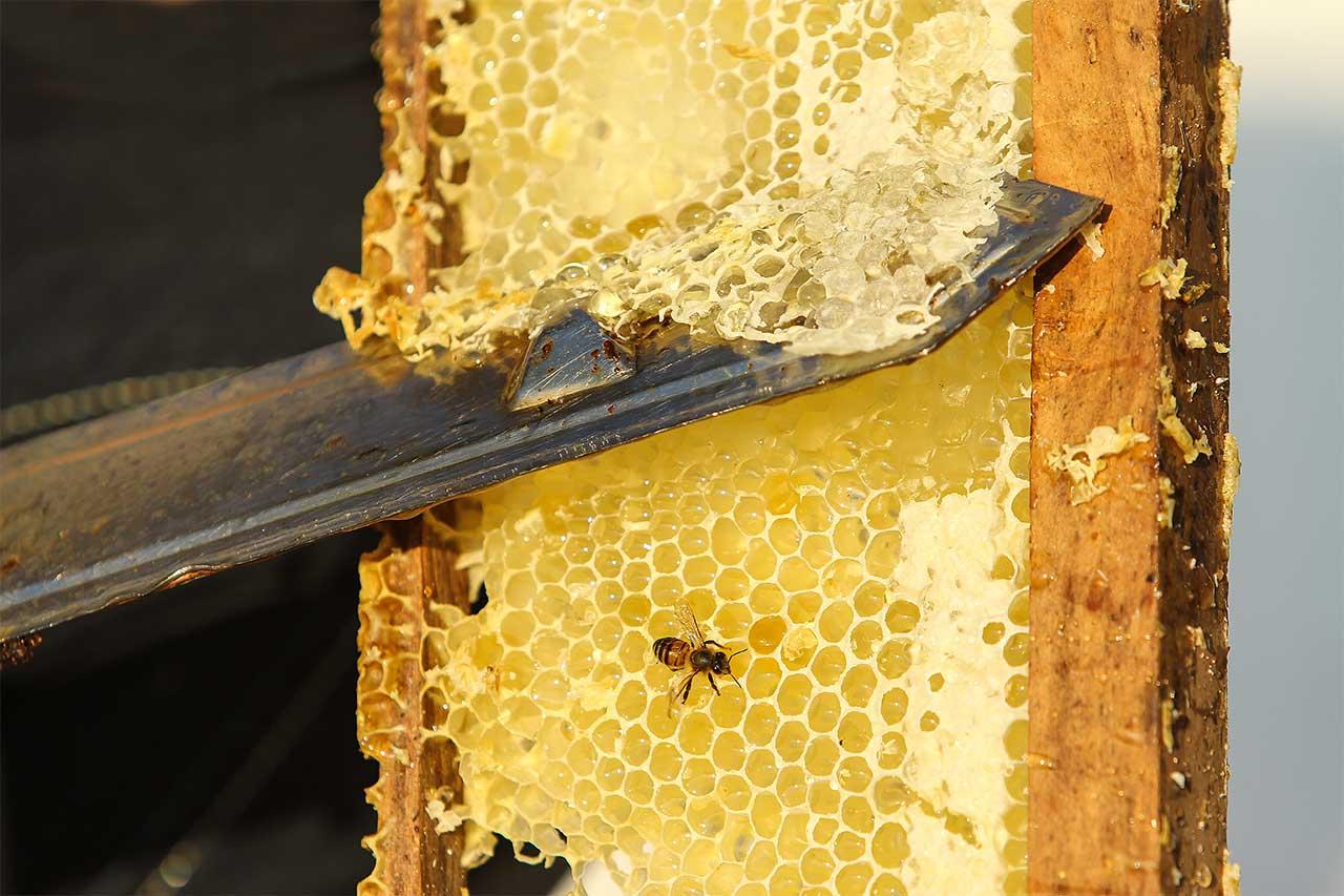 Couteau en train de désoperculer un plateau de ruche de bois, une abeille est posée sur le plateau