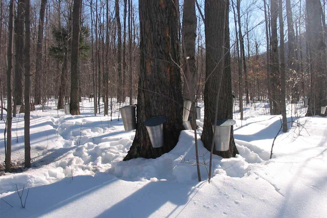 Chaudières installées sur les érables dans une érablière enneigée