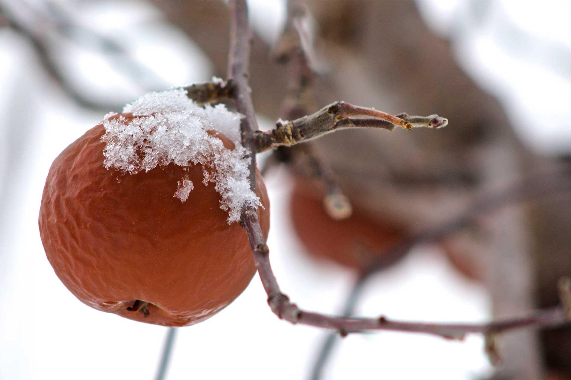 Pomme gelée dans l'arbre, de la neige est retenue sur la pomme