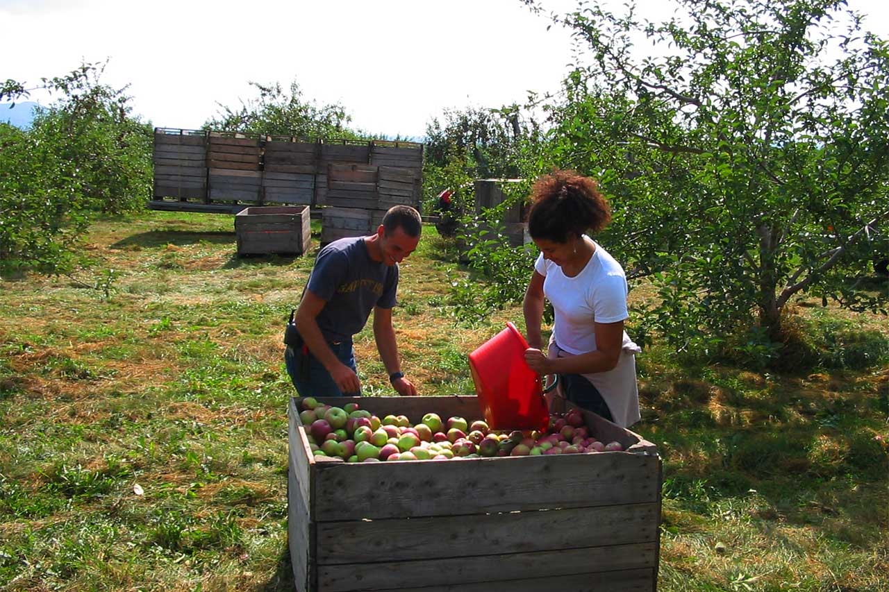 Un homme et une femme récoltent les pommes dans un verger et les disposent dans de grandes caisses en bois
