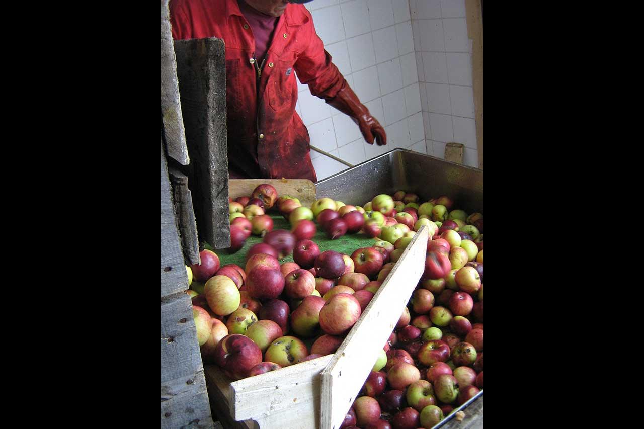 Un homme surveille le lavage et le triage des pommes, les pommes tombent dans un grand bac rempli d'eau