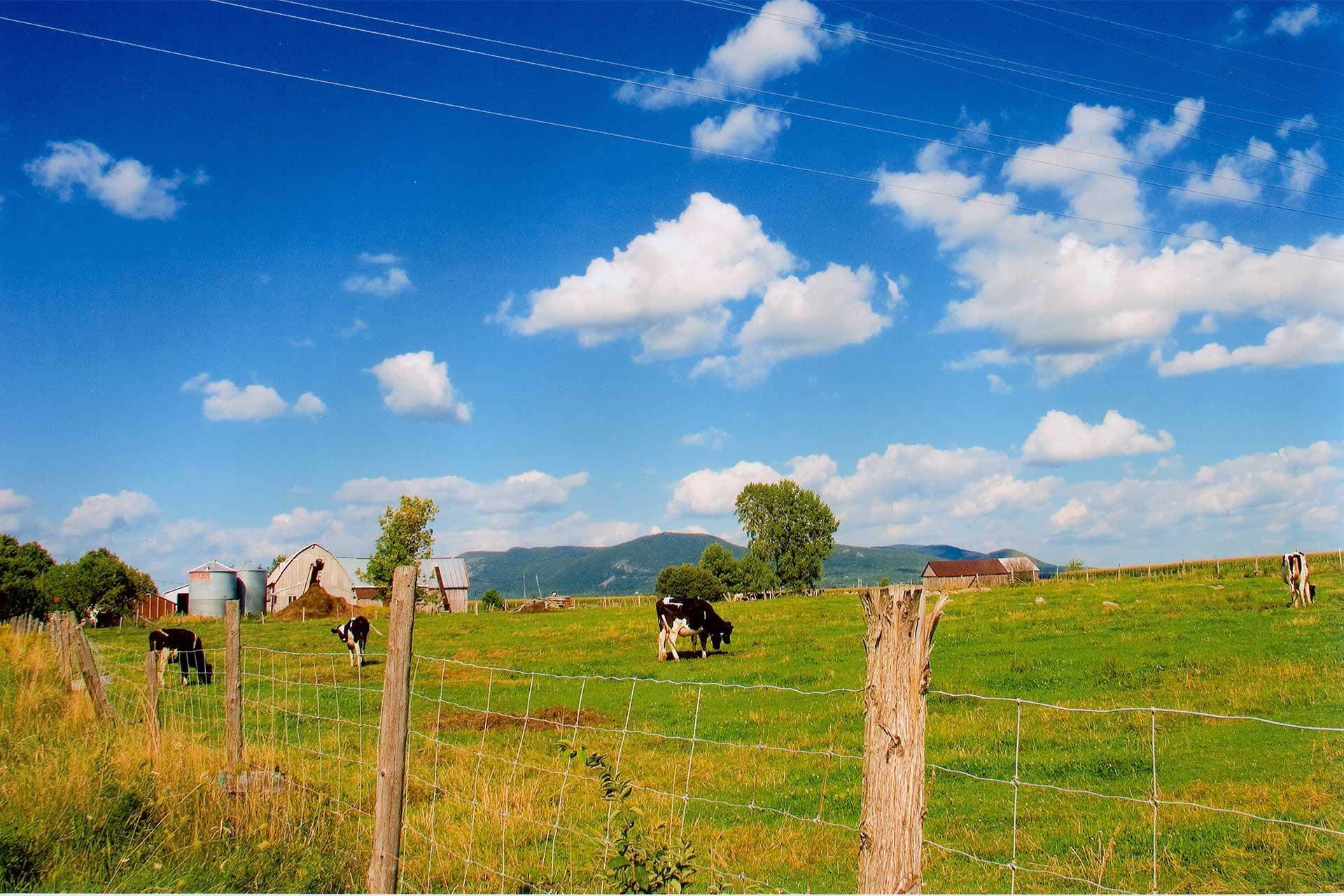 Quatre vaches laitières sont en train de paître dans une pâture, des bâtiments de ferme sont en arrière, le mont Saint-Hilaire est en arrière-plan
