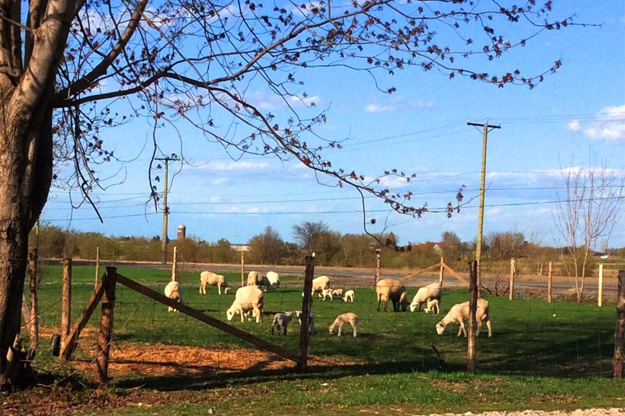 Moutons et agneaux en train de brouter l'herbe dans un enclos en bord de route