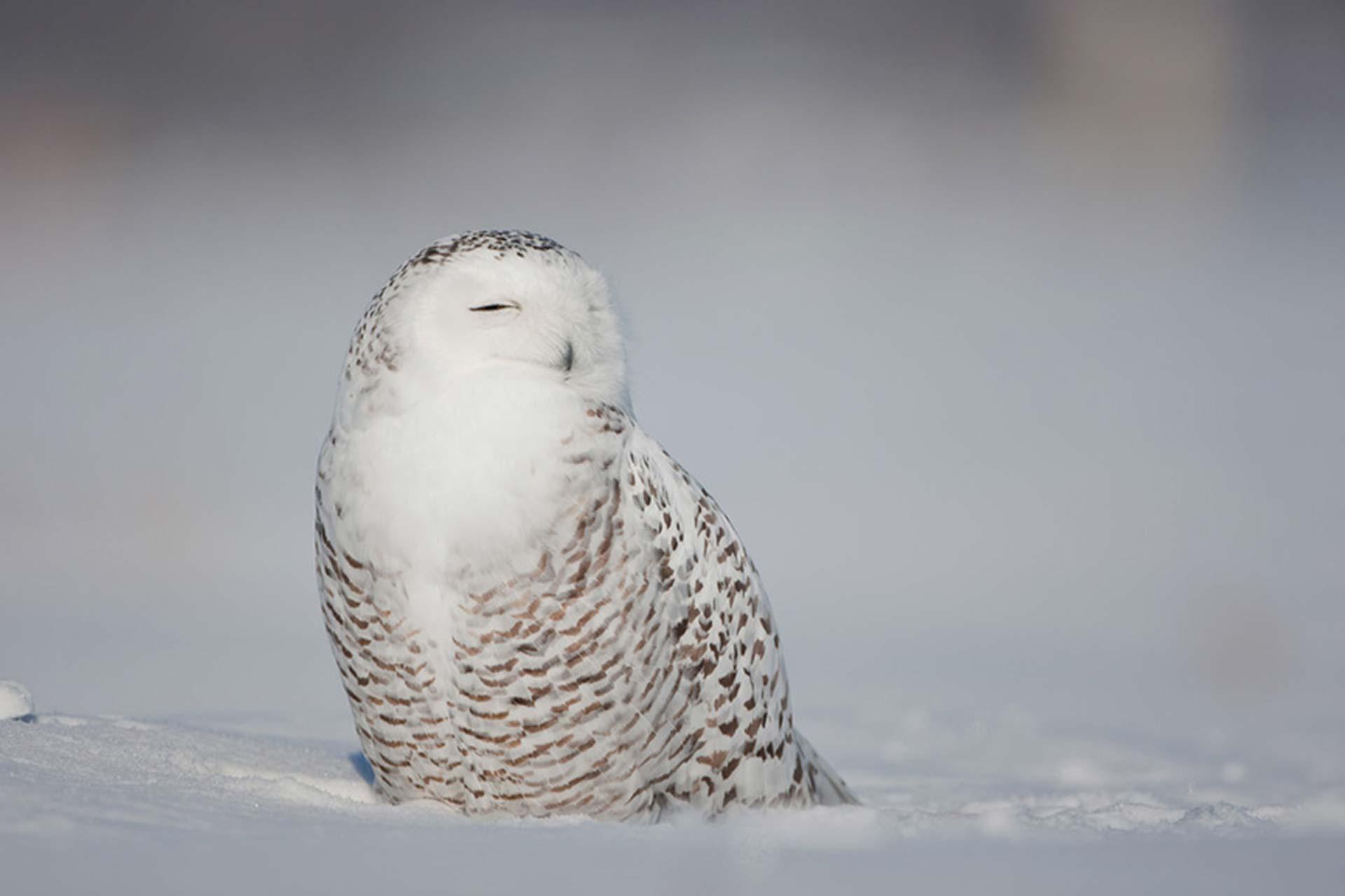Harfang des neiges posé dans la neige, les yeux fermés, fond flou blanc
