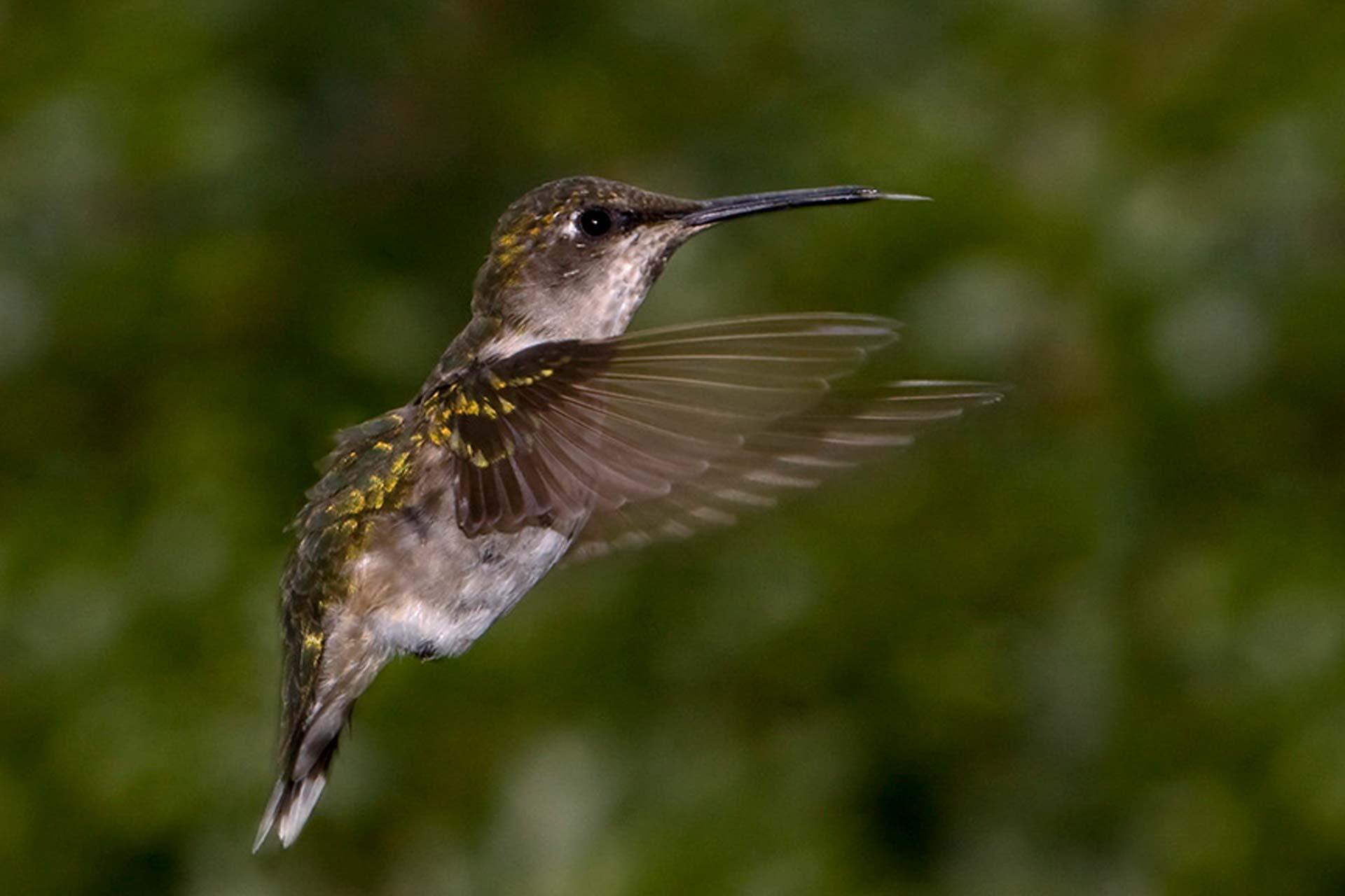 Colibri en vol de profil, fond flou vert