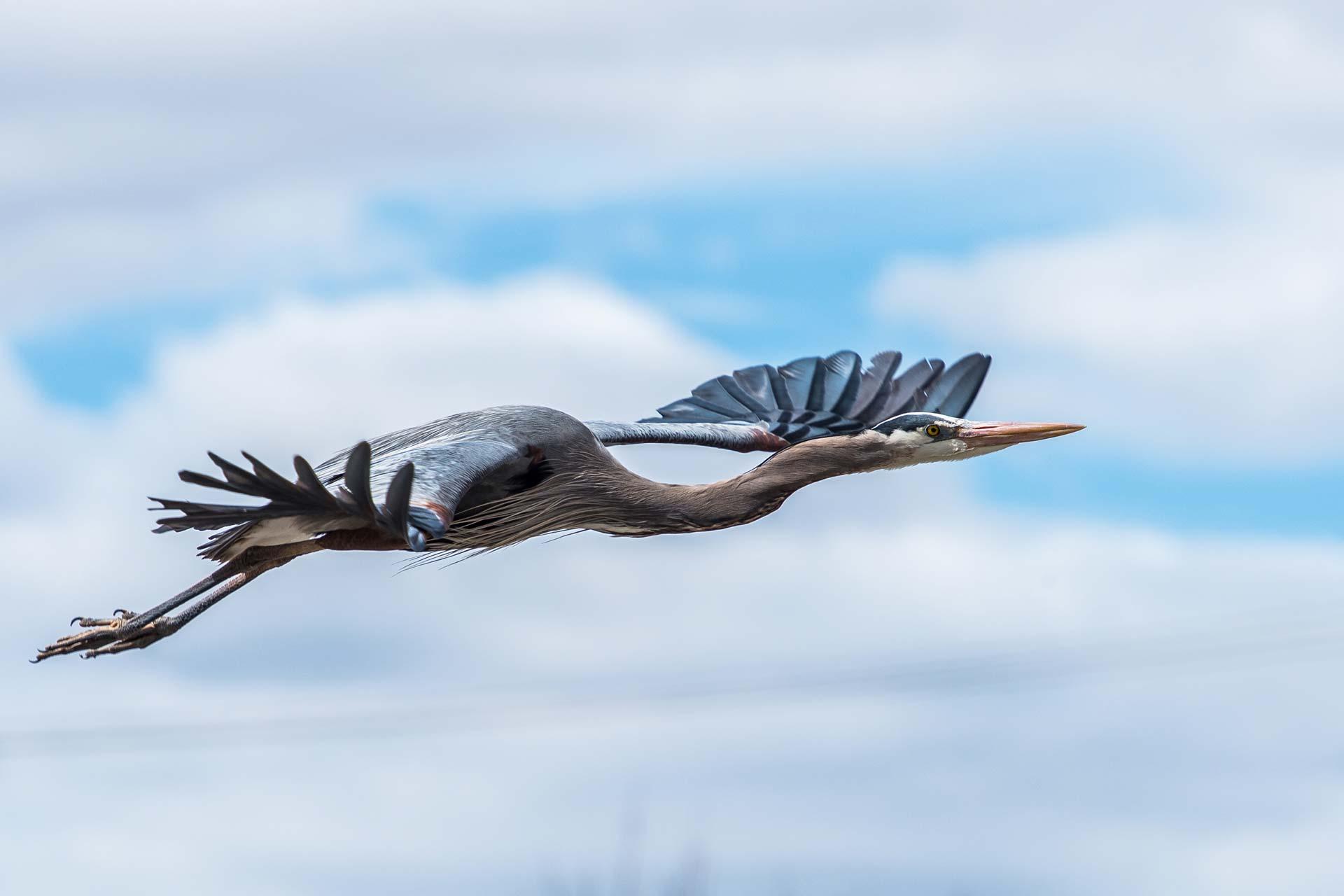 Grand héron en vol de profil, ciel partiellement nuageux en arrière-plan